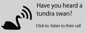 Swan with audio symbol. Text: Have your heard a tundra swan? Click to listen to their call.