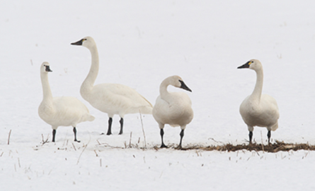 Three tundra swans in the snow.