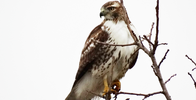 A picture of a hawk perched high up on a tree branch.