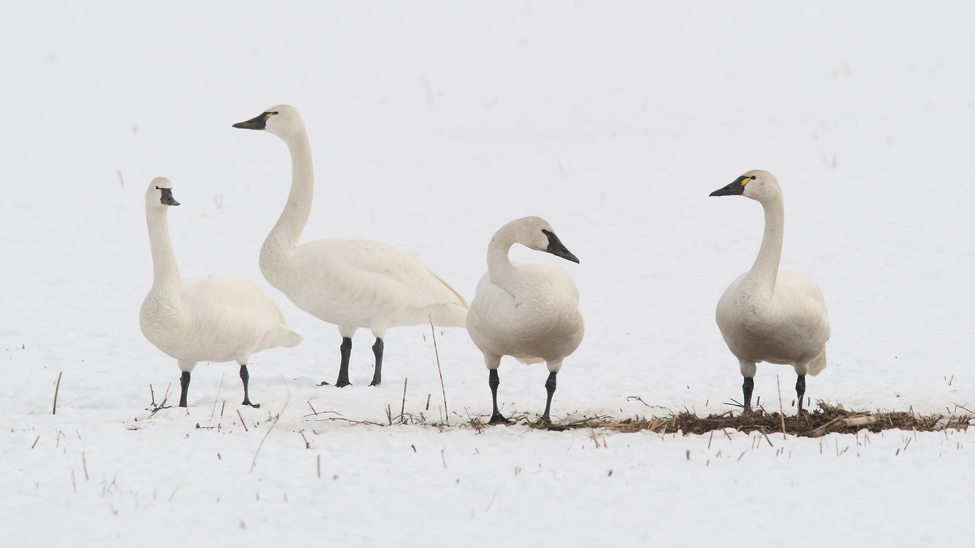 Standing tundra swans.