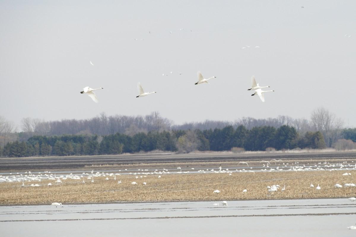 Swans in a field.